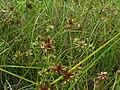 Starr 061108-9647 Cyperus trachysanthos.jpg