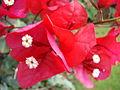 Starr 061205-1877 Bougainvillea sp..jpg