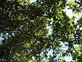 Starr 061231-3077 Persea americana.jpg