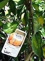 Starr 080103-1447 Citrus reticulata.jpg