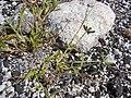 Starr 080602-5396 Dactyloctenium aegyptium.jpg