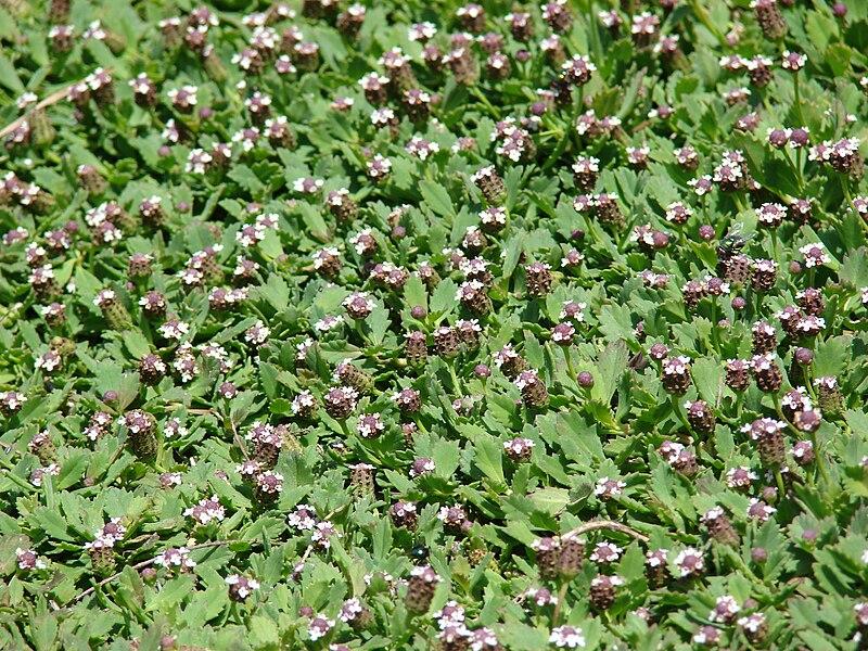 File:Starr 080602-5472 Phyla nodiflora.jpg - Wikimedia Commons