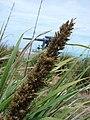 Starr 080605-6711 Eragrostis variabilis.jpg