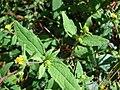 Starr 090121-1041 Sigesbeckia orientalis.jpg