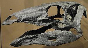 Stegosaurus - S. stenops skull cast, Natural History Museum of Utah