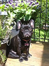 french bulldog wiki french bulldog wikipedia the free encyclopedia 1764