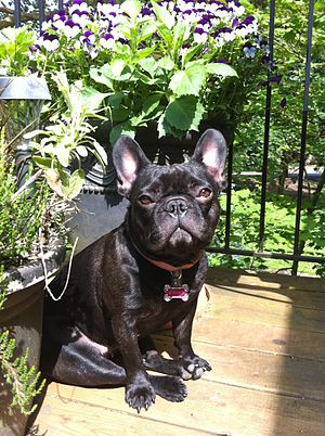 French Bulldog - European Brindle French Bulldog