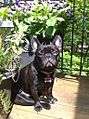 Stella Brindle French Bulldog.jpg