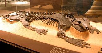 Diadectes - Fossil