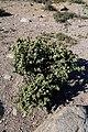 Stoeberia aff utilis (Aizoaceae) (37387279726).jpg
