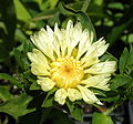 "Stokesia laevis ""Mary Gregory"".jpg"