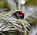 Strange red and black insect (3882185964).jpg