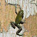Strawberry poison-dart frog (Oophaga pumilio or Dendrobates pumilio) (9445146674).jpg