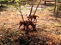 Striped hyneas (Hyaena hyaena) at IGZoo park in Vizag.jpg