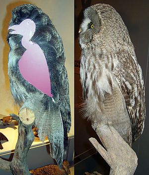 True owl - Cross sectioned great grey owl specimen showing the extent of the body plumage, Zoological Museum, Copenhagen
