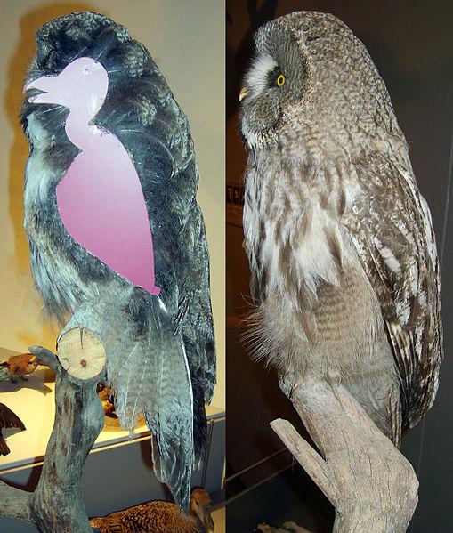 File:Strix nebulosa plumage coruja sem penas por dentro
