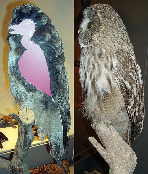 Strix nebulosa plumage