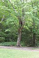 Sugar Maple, Bottom (49688127182).jpg