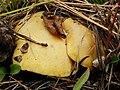 Suillus kaibabensis Thiers 172971.jpg