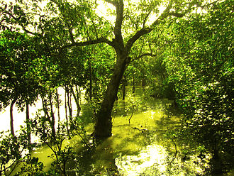 Sundarbans - Sundari tree (Heritiera littoralis)