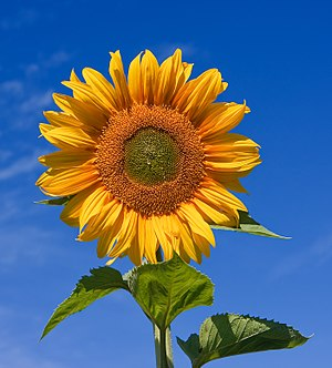 Sunflower (Sunfola variety) against a blue sky...