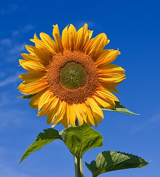 Helianthus annuus - Horticultural variety of common sunflower