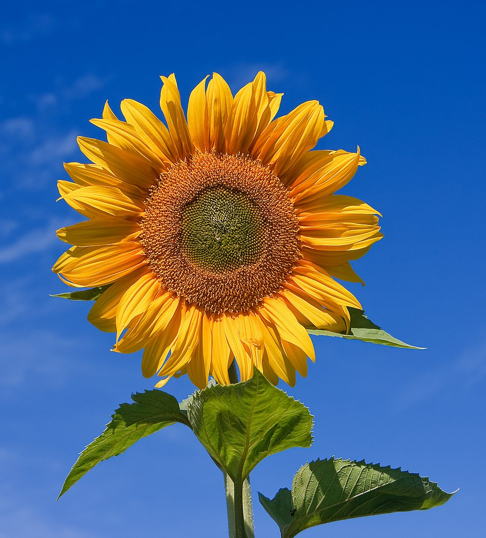 Sunflower sky backdrop