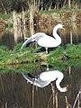 Swan at Bishopstone Fishing Lakes - geograph.org.uk - 686848.jpg