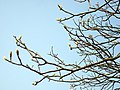 Sycamore buds - geograph.org.uk - 1271385.jpg