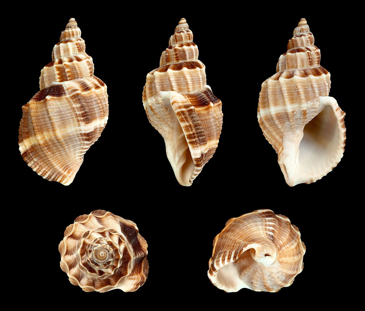 Bouchet & Rocroi Gastropoda