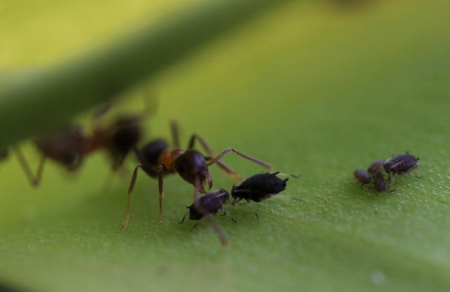 Symbióza mravcov a vošiek - mravce poskytujú ochranu a vošky sladký sekrét