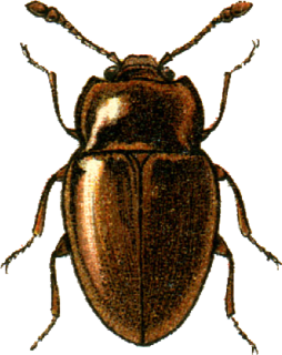 Anamorphidae family of insects