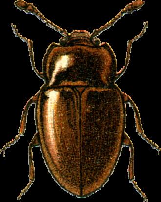 Symbiotes (beetle) - Symbiotes gibberosus