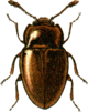 Symbiotes gibberosus Jacobson.png