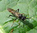Symphytes wasp, Tenthredinidae - Flickr - gailhampshire.jpg
