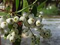 Syzygium gratum fruits.jpg