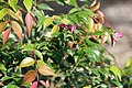 Syzygium luehmannii 1zz.jpg