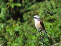 Törnskata Red-backed Shrike (14519447752).jpg