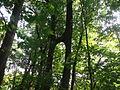 Törzsüknél összenőt fák02 - Hédervár.JPG
