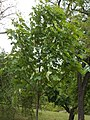 Taban Park Botanical nature trail. Sycamore (Acer pseudoplatanus). - Budapest.JPG