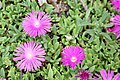 "Table Mountain Iceplant (Delosperma) ""John Profitt"" - United States National Arboretum - (1).jpg"