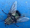 Tachinid bristle bum fly.jpg
