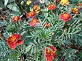 Tagetes patula in bd 01.jpg