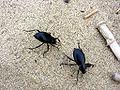 Taklamakan-escarabajos-d01.jpg