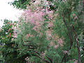 Tamarix ramosissima a2.jpg