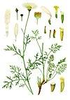 Tanacetum cinerariifolium - Köhler–s Medizinal-Pflanzen-269.jpg