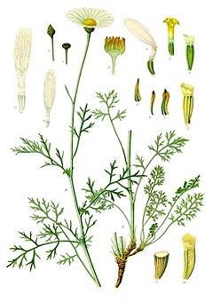 240px-Tanacetum_cinerariifolium_-_K%C3%B6hler%E2%80%93s_Medizinal-Pflanzen-269.jpg