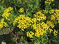 Tanacetum vulgare 2-eheep (5097393915).jpg