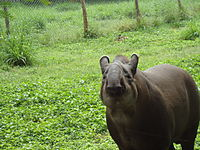 Tapir in Mysore Zoo.JPG