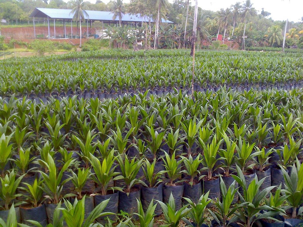 Sary Tawau Oil Palm Nursery Jpg Wikipedia